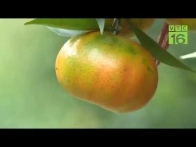 Thu bạc tỉ nhờ trồng cam trên đất Sơn La