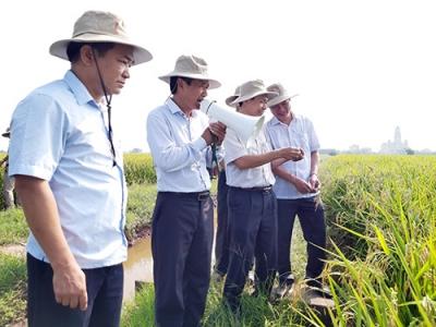 Nông dân Nam Định thắng lớn với giống lúa lai F1