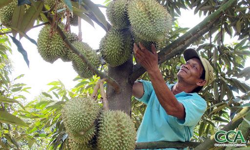 Lão nông 'biến' vườn sầu riêng thường thành sầu riêng Thái