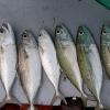 Cá Bạc Má Biển Long Hải