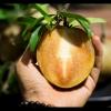 Hồng Xiêm Mexico V-Organic