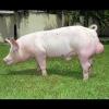 Lợn Thịt Giống (LANDRACE/YORKSHIRE)