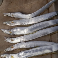 Cá Hố Biển Long Hải