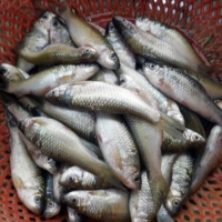 Cá mương Sông Đà