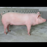 Lợn Giống GF24