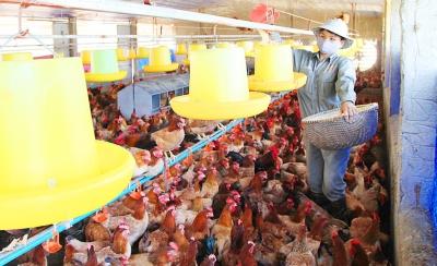 Ngành chăn nuôi Hà Nội: Bảo đảm nguồn cung cho thị trường