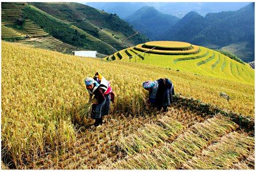 Gạo tẻ Séng Cù- HTX Mường Vi