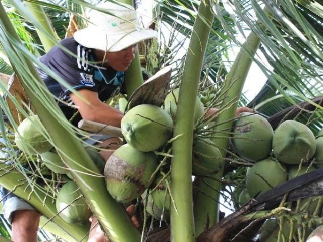 Dừa sáp Hòa Tân