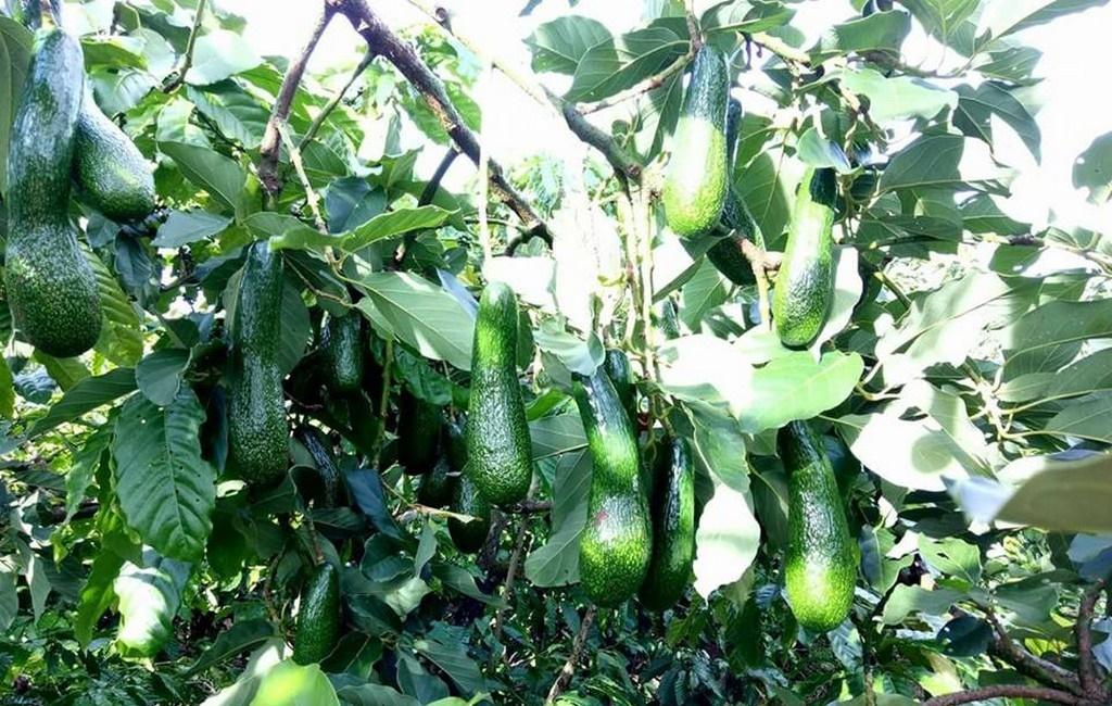 Hoa quả tươi Lâm Đồng