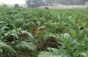 CAO ACTISO- DT GREEN FARM