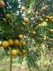 Cam Lòng Vàng - 3Tfarm