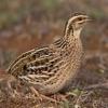 Chim Cút Đông Anh