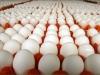 Trứng Gà Ai Cập