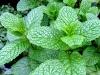 Tinh dầu Bạc Hà - Nguyên chất - Peppermint essential oil(10ml)