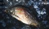 Cá chép sông V-Organic