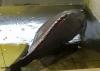 Cá Mú (Loại 1)