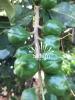 Hạt Mắc Ca (Maccamadia)
