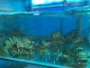 Cá Song Đen Hấp Xì Dầu