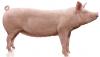 Thịt Lợn Hơi Nguyên Con