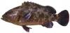 Cá Song Biển - Cá Mú (nặng hơn 2,5 Kg) - Hải Sản Quảng Ninh - Ngọc Việt Garden Thái Nguyên