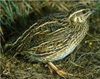 Chim Cút Sống - Chim Cút Đông Anh