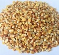 Bắp hạt Brazil. Argentina - Nguyên liệu sản xuất Thức ăn chăn nuôi